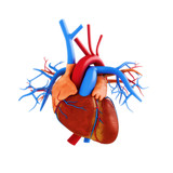 Human heart anatomy illustration on a white background