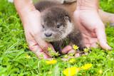 Orphaned Eurasian otter (Lutra lutra) baby poster