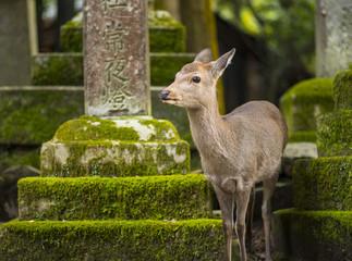 Nara, Japan Deer
