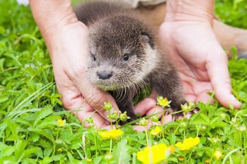 Orphaned Eurasian otter (Lutra lutra) baby