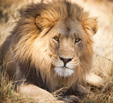 Large lion in Zambia, Africa - Fine Art prints