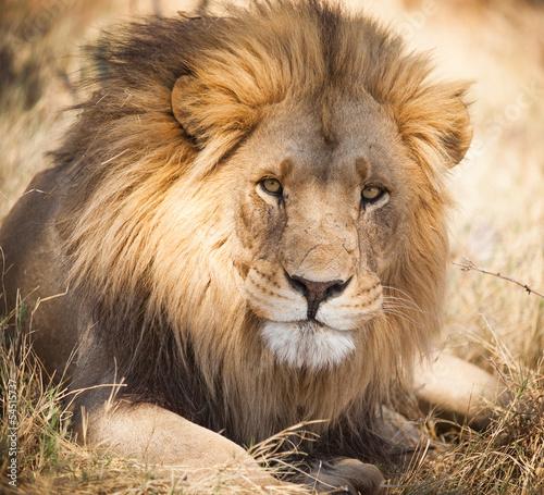 Foto op Canvas Leeuw Large lion in Zambia, Africa