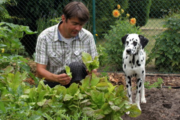 Herrchen und Hund bei Gartenarbeit, salatpflücken