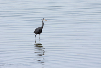 A black heron with reflection on water