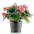 Pink begonia plant