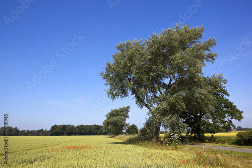 white poplar and wheat