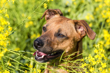 Farm Dog in the Canola