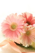close up of elegant pink gerbera with copy space