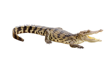 Albino crocodile isolated with clipping path