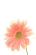 close up of gerbera on white background with copy space
