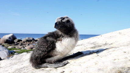 razorbill (Alca torda) chick