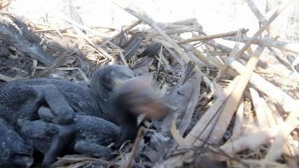 Baby birds of a cormorant