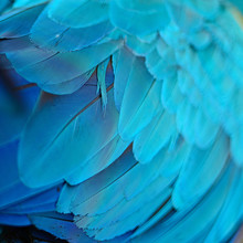 Blue and Gold Macaw plumes