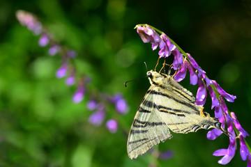 White butterfly feeding on blue flowers