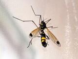 ctenophora ornata, petit insecte accroché à sa patte poster