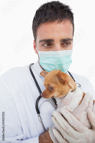 Worried male vet holding a sick chihuahua