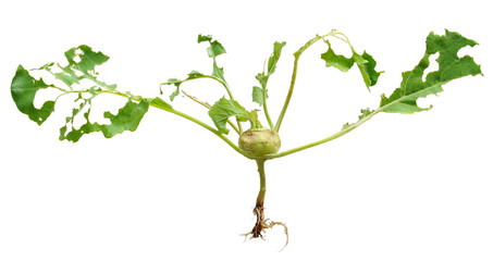 Slug damage of green kohlrabi, isolated