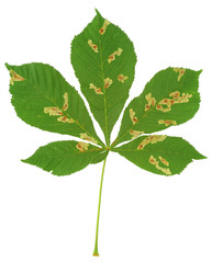 Chestnut tree attacked by leaf miner, Cameraria ohridella