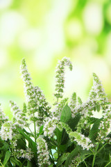 Fresh mint flowers in garden