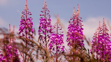 fireweed and bees