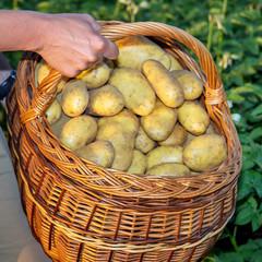Basket full of potatoes in a potato field