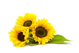 sunflower on white background (Helianthus)