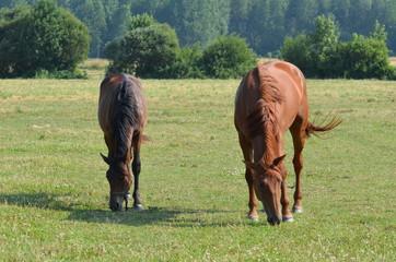 Normandie, terre d'élevage des chevaux
