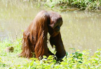 Orangutan alone