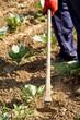 Kohlpflanzen vom Unkraut befreien