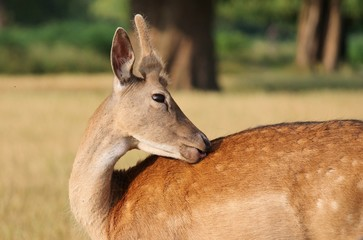Young fallow stag deer close up