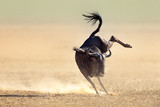 Blue wildebeest jumping playfully around