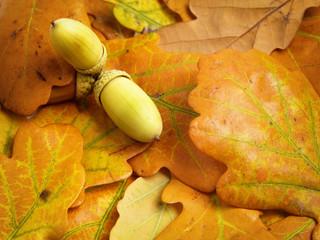 autumn oak leaves with acorn
