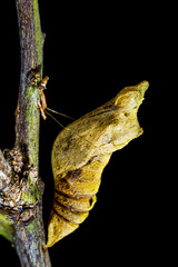pupa of butterfly on the tree