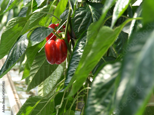 Red peppers in a greenhouse