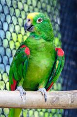 Yellow head macaw