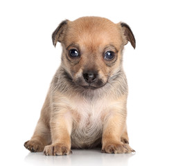 Chihuahua puppy (1 month) on white background