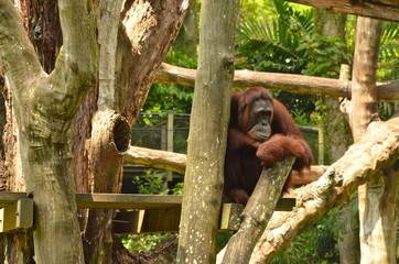 Orangutan (Pongo Borneo) in Singapore Zoo
