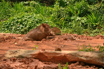 Warthog in Singapore zoo