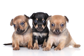 Chihuahua puppies on a white background