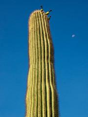 Saguaro Cactus Portrait