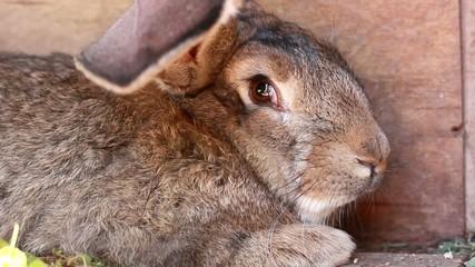 grey rabbit closeup