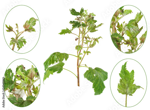 Infection of black currant, grey mould, Botrytis cinerea