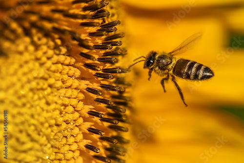 Honeybee Hovering