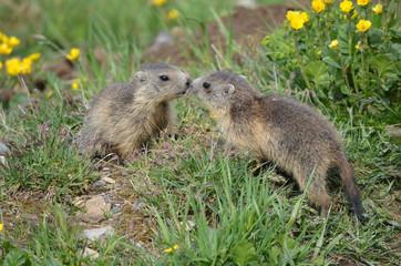 Baiser de marmottons