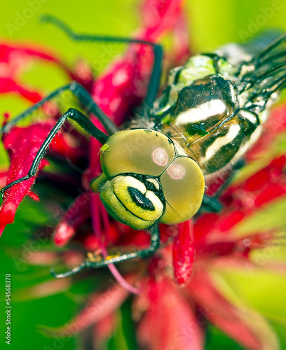 dragonfly on red flower