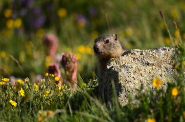 Marmotton caché