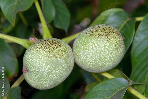Image of Green walnut pair between leaves