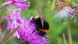 bumble-bee on thistle flower close-up macro