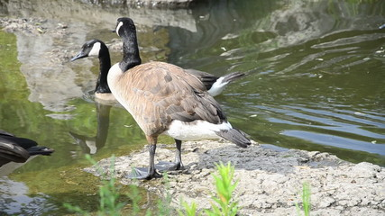 Canadian Geese in a Lake