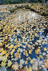 Fallen yellow autumn leaves